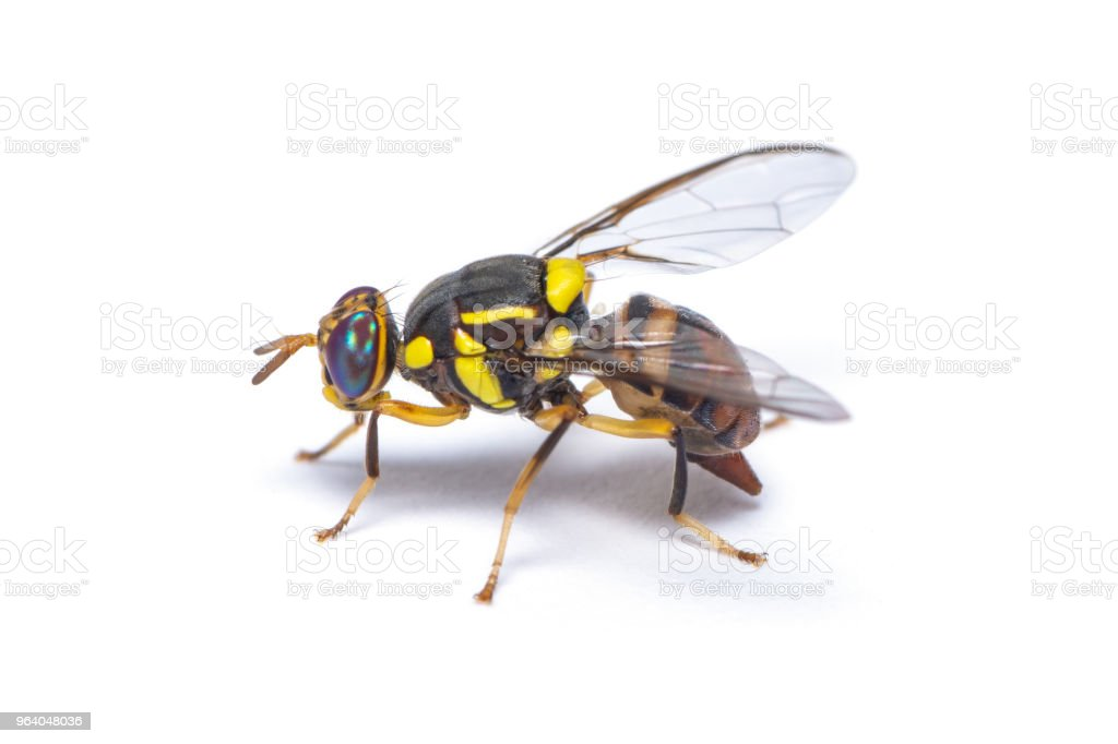 Bactrocera dorsalis fruit fly isolated on white background - Royalty-free Agriculture Stock Photo