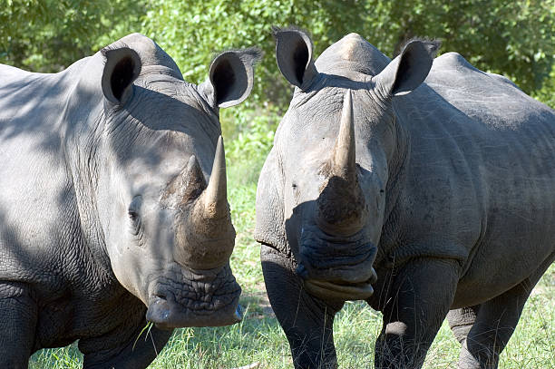 Bad Boys of the Jungle Two rhinoceroses snacking in the South African shade. aegis stock pictures, royalty-free photos & images