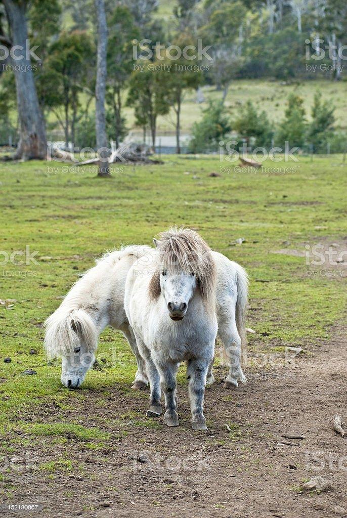 Bad boys of the pony club stock photo