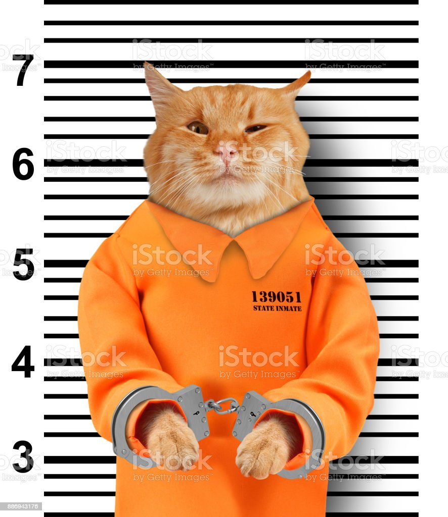 Bad cat with handcuffs on white background. Cat is wearing a orange jump suit. Violation of the law. stock photo