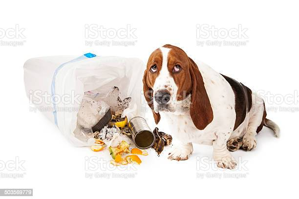 Bad dog getting into garbage picture id503569779?b=1&k=6&m=503569779&s=612x612&h=w sm6ubhawpxbsv3 ylmycuzci3c 6iakkbp2qsx4mk=