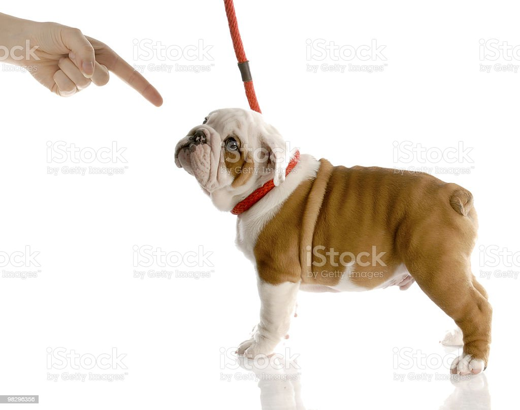 bad dog royalty-free stock photo