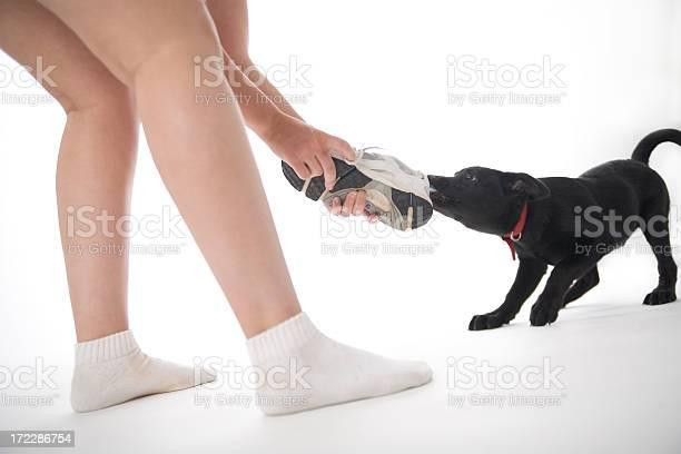 Bad dog shoe tug of war picture id172286754?b=1&k=6&m=172286754&s=612x612&h=nv7uevzey57gnvwxzex2 osvsfgxi41eyrti5 zyhhm=