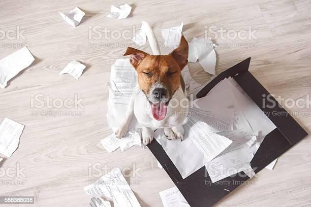 Bad dog sitting on the torn pieces of documents picture id586388038?b=1&k=6&m=586388038&s=612x612&h=ypnbzhrjtutqmbwie 90ufdai7fcadrt7er5huijaik=