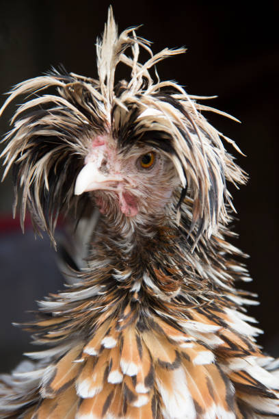 bad hair day for a frizzled tolbunt polish hen - messy hair stock photos and pictures