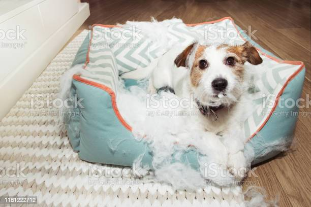 Bad naughty dog destroyed its pet bed with innocent face expression picture id1181222712?b=1&k=6&m=1181222712&s=612x612&h=nfkqcg c4qekakcnqfvelty9v9m6kfoyhv ioquokas=