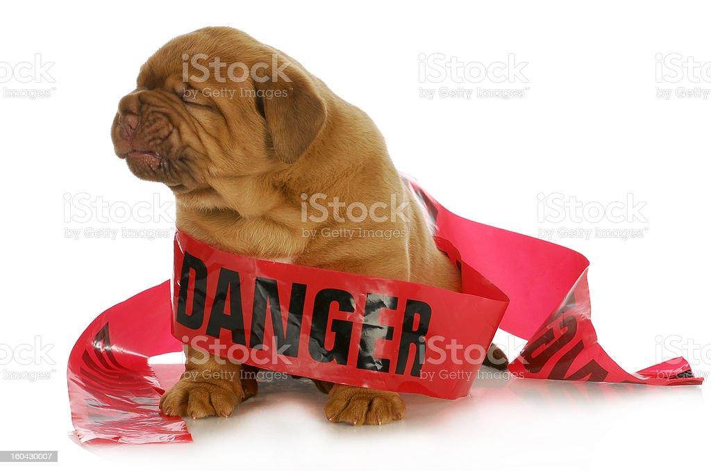 bad puppy royalty-free stock photo
