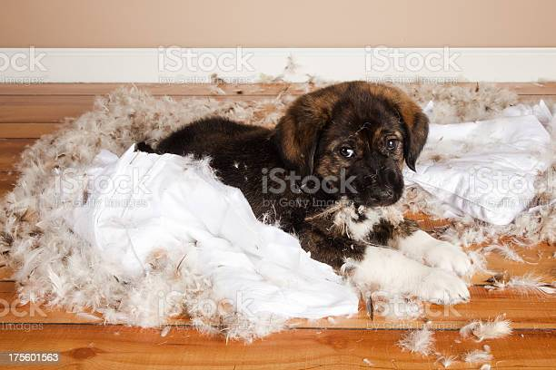 Bad puppy picture id175601563?b=1&k=6&m=175601563&s=612x612&h=2lnwvbnisbklvxpdorobcs1vnbjawauarag6ovjyzzw=