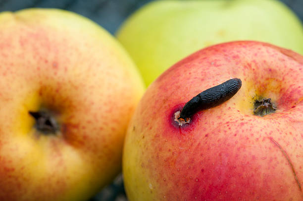 bad rotten apple being eaten by a slug stock photo