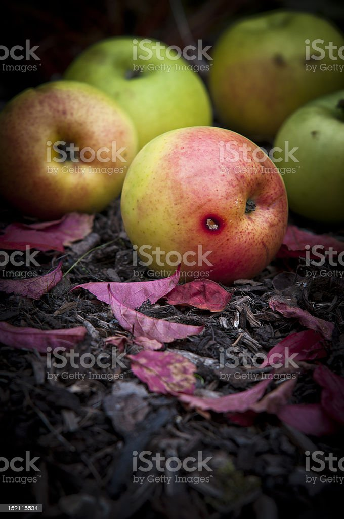 bad rotten apple stock photo