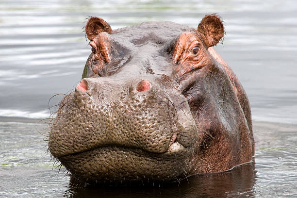 Bad Tempered Hippo stock photo