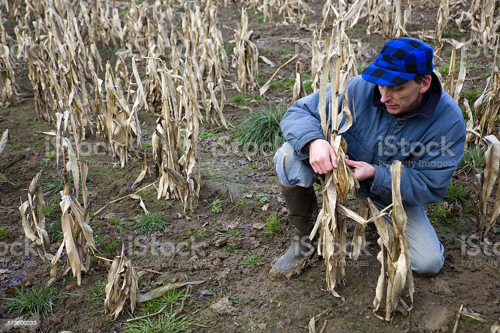 Bad Winter - Royalty-free Agriculture Stock Photo