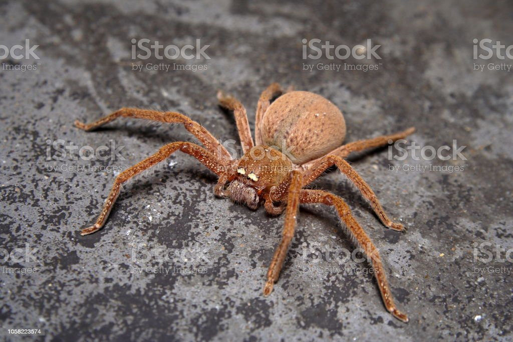 Badge Huntsman Spider Neosparassus Diana Stock Photo & More