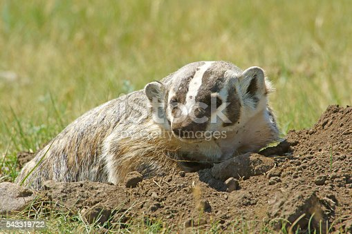 istock Badger at Custer State Park in South Dakota 543319722