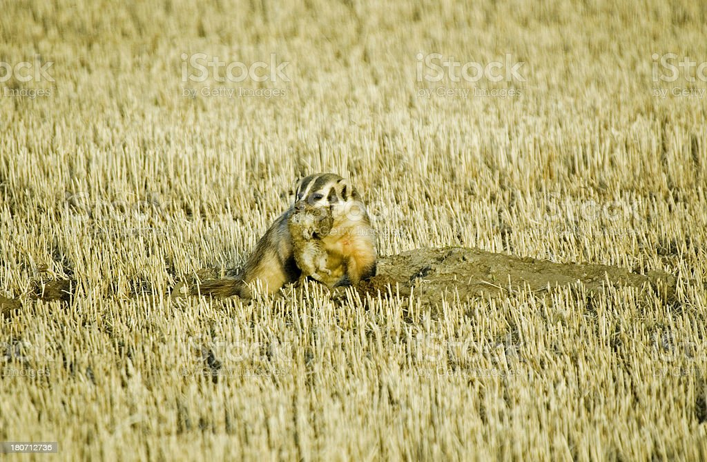 Badger catches gopher stock photo