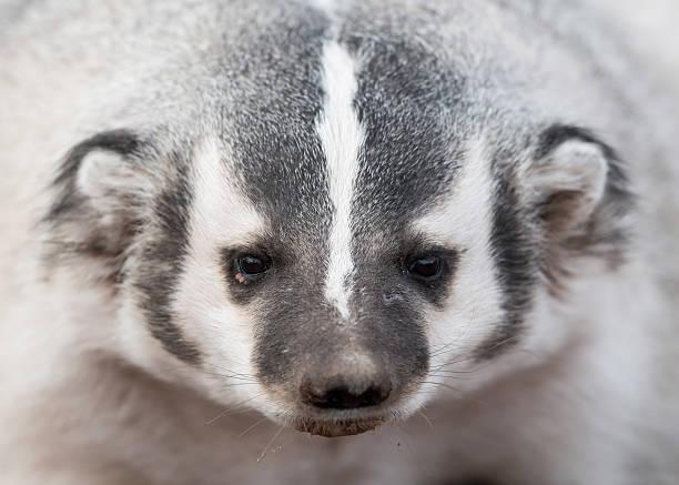 Badger closeup picture id500882180?b=1&k=6&m=500882180&s=612x612&w=0&h=klqcjoqvem3yros2sdvakx sjol2hqqfnlcqxz6oapw=