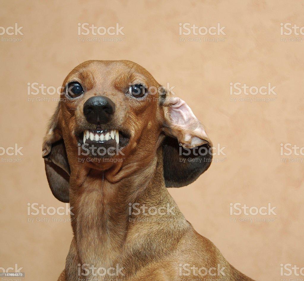 Badger dog royalty-free stock photo