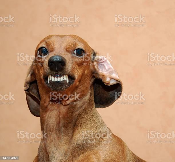 Badger dog picture id147694372?b=1&k=6&m=147694372&s=612x612&h=hsdzhnosi6x16ciaq8gpef iosgqyo5yri6rwvud 9i=