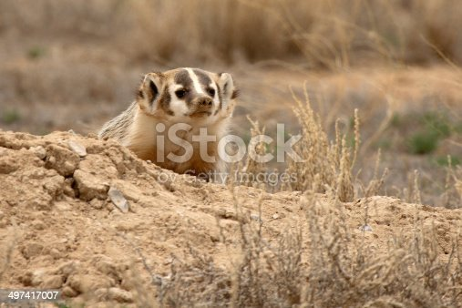 istock Badger Looking Out 497417007