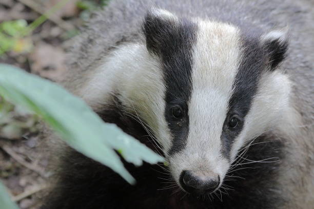 Badger Badger in a forest pejft stock pictures, royalty-free photos & images
