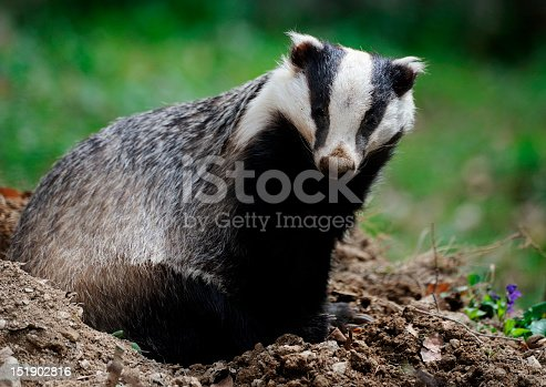 Close-up of an European badger also called Eurasian badger (Mele meles). This species belongs to the weasel family (Mustelidae).