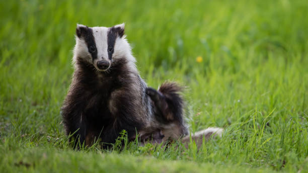 Badger scratching his side stock photo