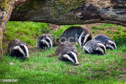 Badger sow and cubs family feeding in a woodland forest