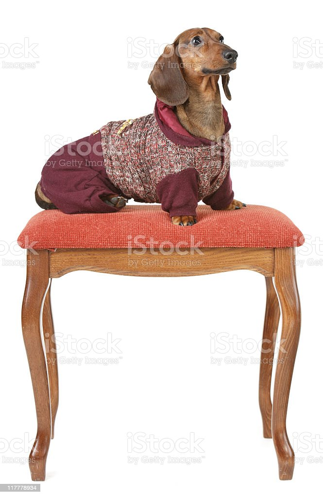 badger-dog dressed in one-piece suit sitting on the pillow royalty-free stock photo
