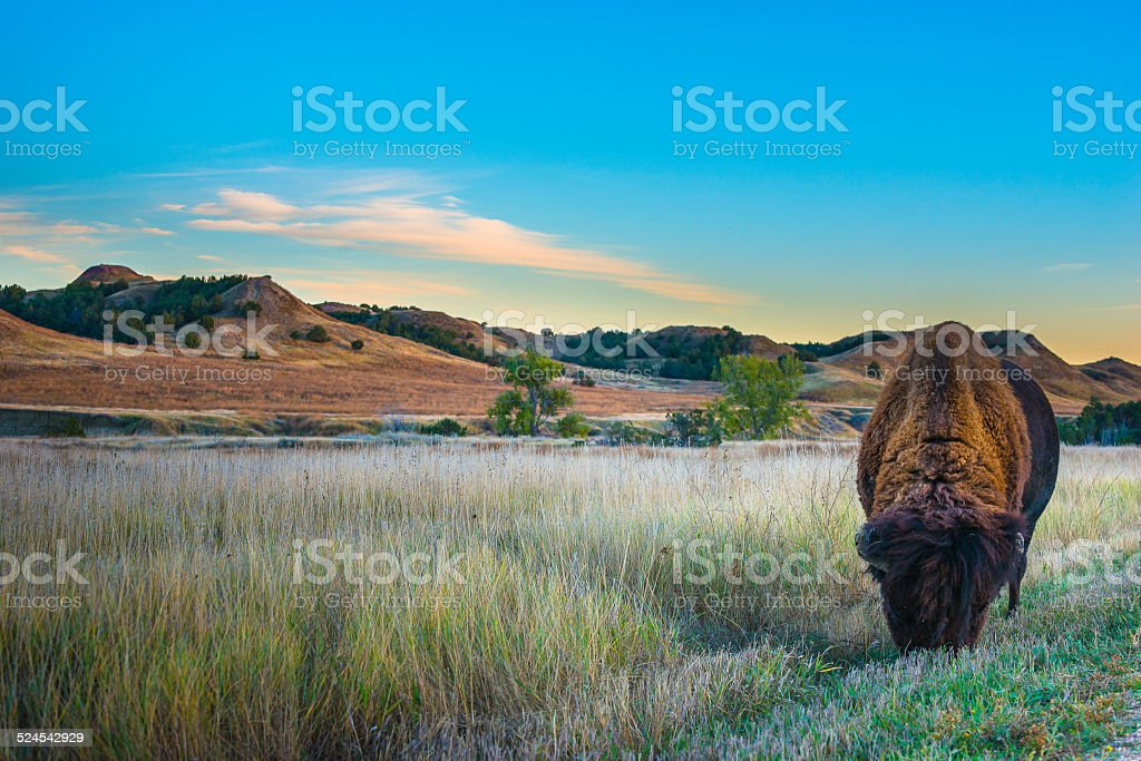 Badlands Bison stock photo