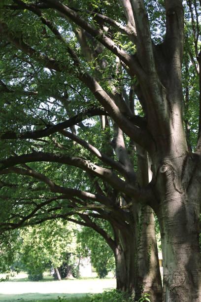 bagolaro trees - gigifoto foto e immagini stock