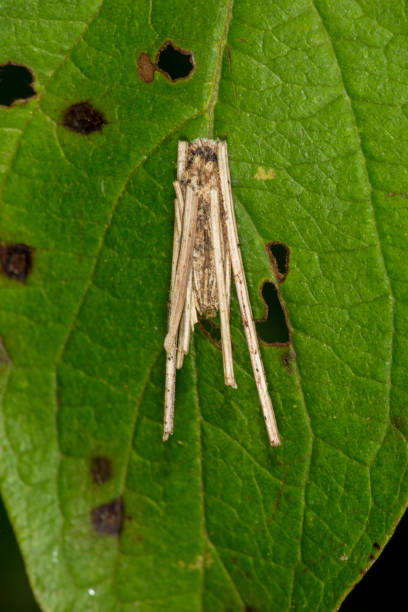 Best Bagworm Moth Stock Photos, Pictures & Royalty-Free Images - iStock
