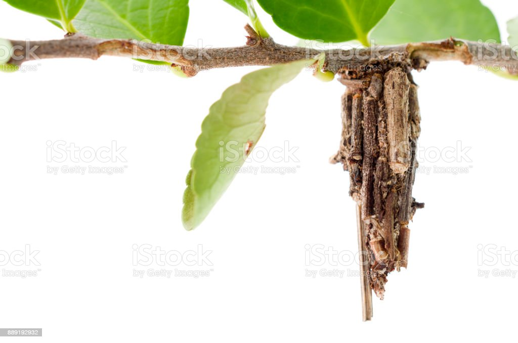 bagworm moth cocoon stock photo