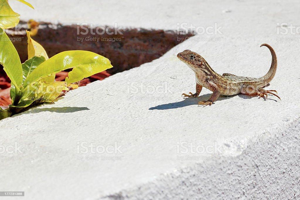 Bahamas Curly Tailed Lizard stock photo