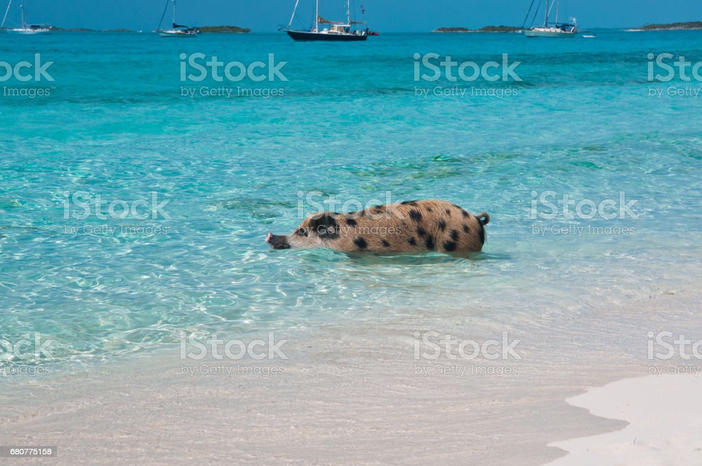Bahamas Swimming Pig stock photo