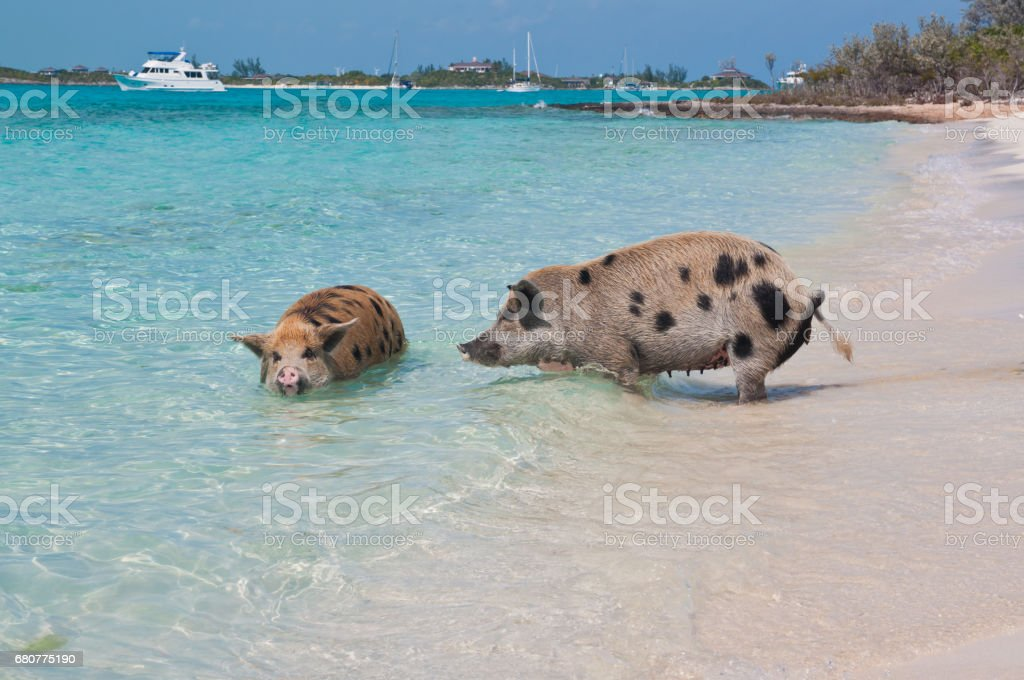 Bahamas Swimming Pigs stock photo
