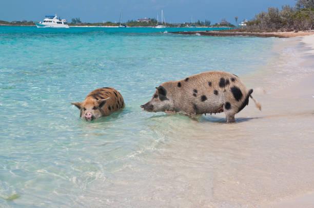 Bahamas Swimming Pigs stock photo