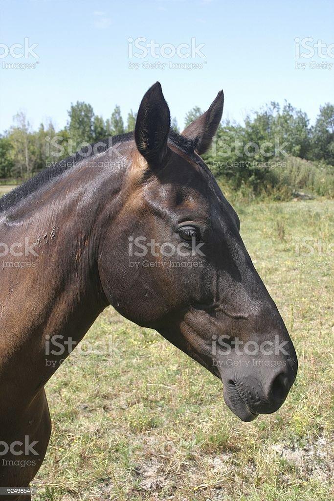 Bai-Pferd Lizenzfreies stock-foto
