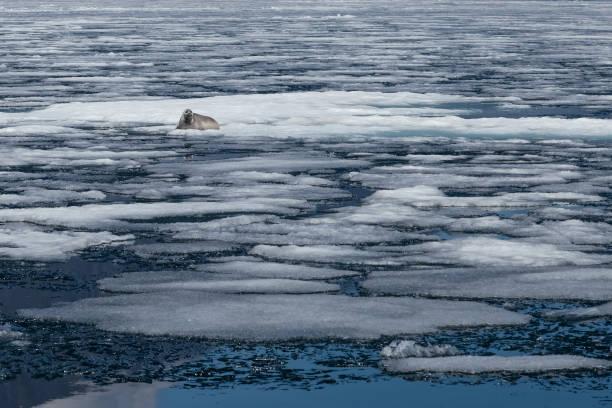 Baikal Dichtung liegen unter Eis in natürlicher Umgebung, endemische – Foto