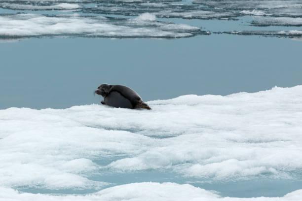 Baikalrobbe auf Eisscholle im natürlichen Lebensraum – Foto