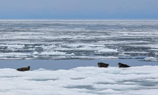 Baikalrobben sind auf dem Eis – Foto