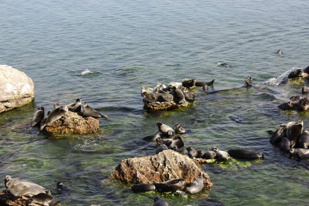 Baikalrobben liegen auf Felsen auf den Uschkanij-Inseln – Foto