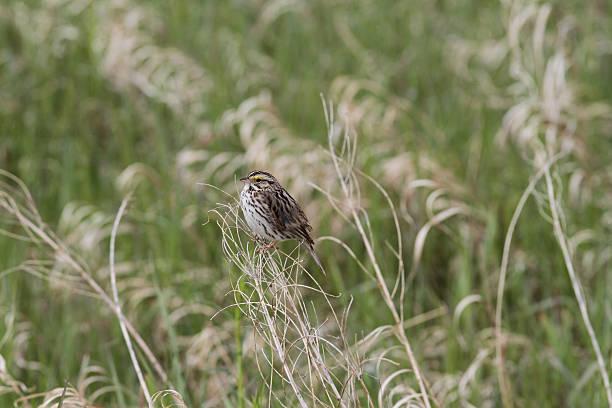 Baird's Sparrow stock photo