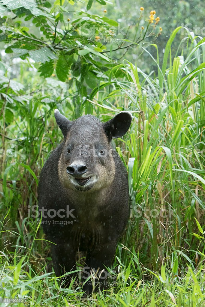 Baird's Tapir In Northern Cloud Forest of Costa Rica stock photo