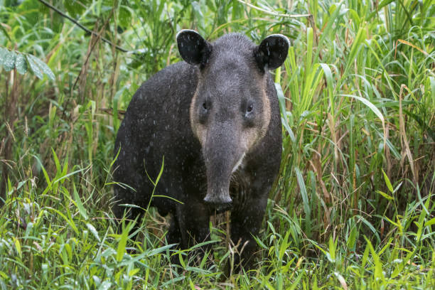 Baird's Tapir in the Rain - Photographed in the Northern Cloud forests of Costa Rica stock photo