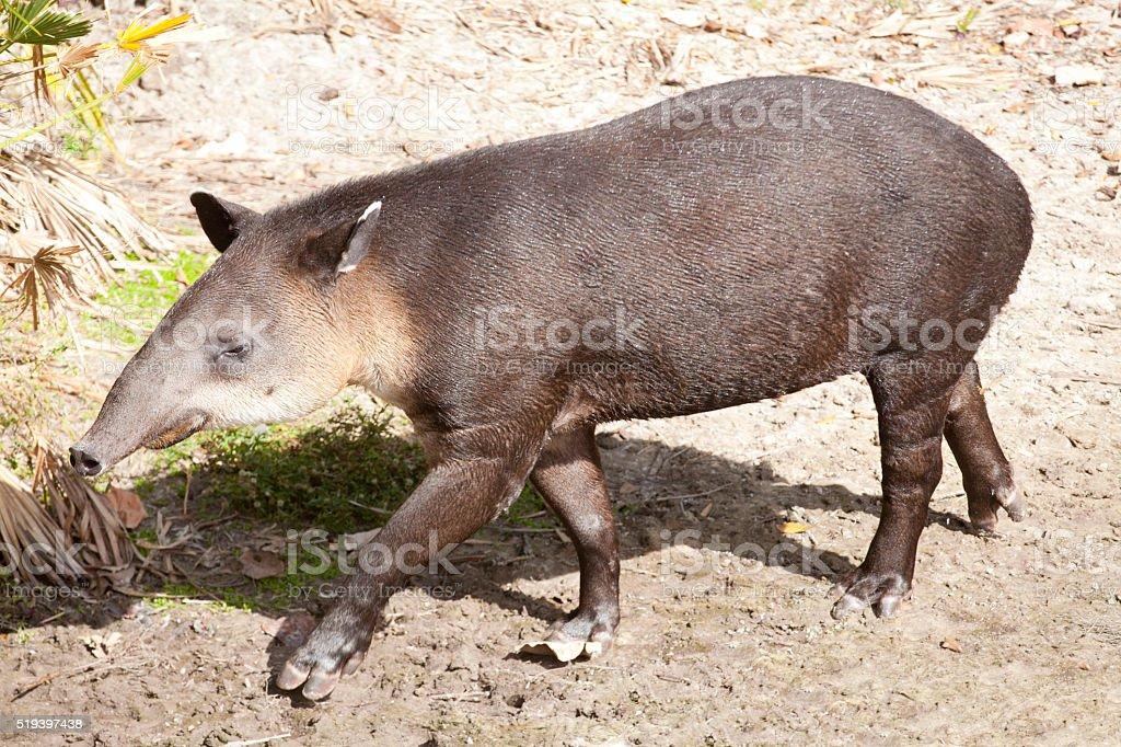 Baird's tapir (Tapirus bairdii) stock photo