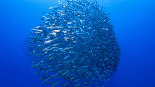 Bait ball in coral reef of Caribbean Sea around Curacao at dive site Playa Grandi stock photo