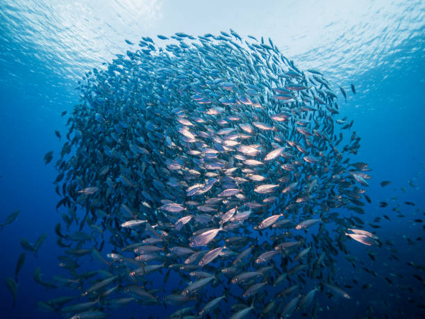 Bait ball in coral reef of Caribbean Sea around Curacao stock photo