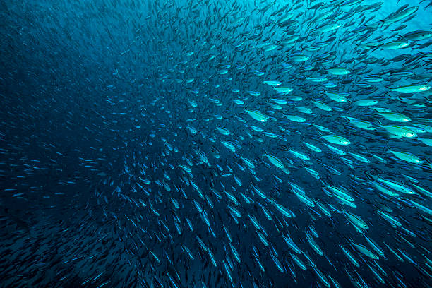 "Bait Ball A huge school of sardines, packed together. Scientists call these behavior ""bait ball"". The fishes stay together to escape the attack of predators like sharks, dolphins and other sea creatures. feeding frenzy stock pictures, royalty-free photos & images"