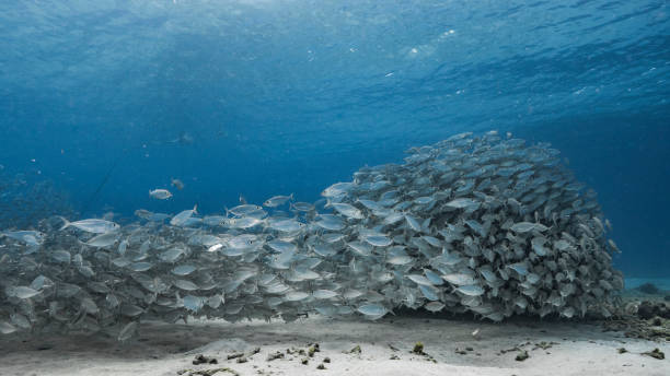 Bait ball / school of fish in turquoise water of coral reef in Caribbean Sea / Curacao stock photo