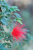 California Calliandra bloom.   For more flowers (click